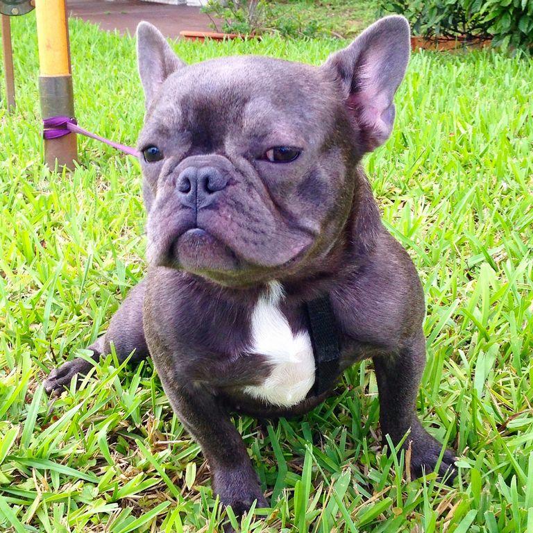 Free French Bulldog Puppies Nh