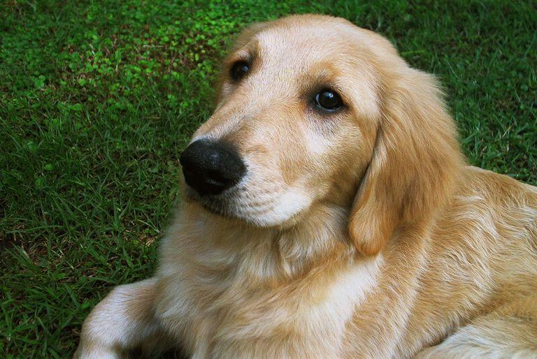 Free Golden Retriever Puppies San Antonio