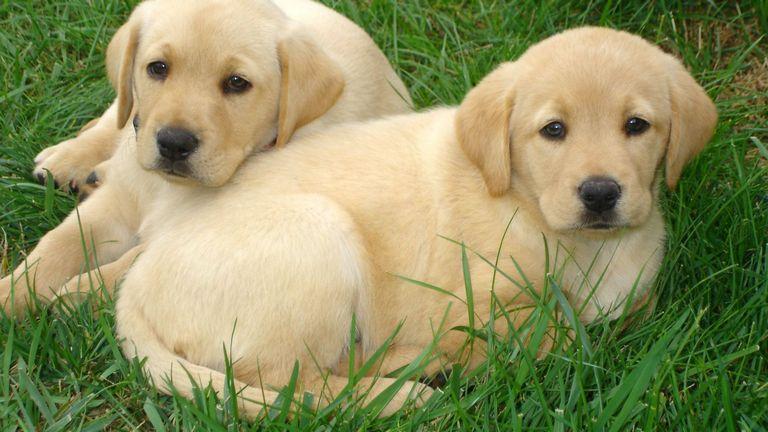 Free Labrador Retriever Puppies