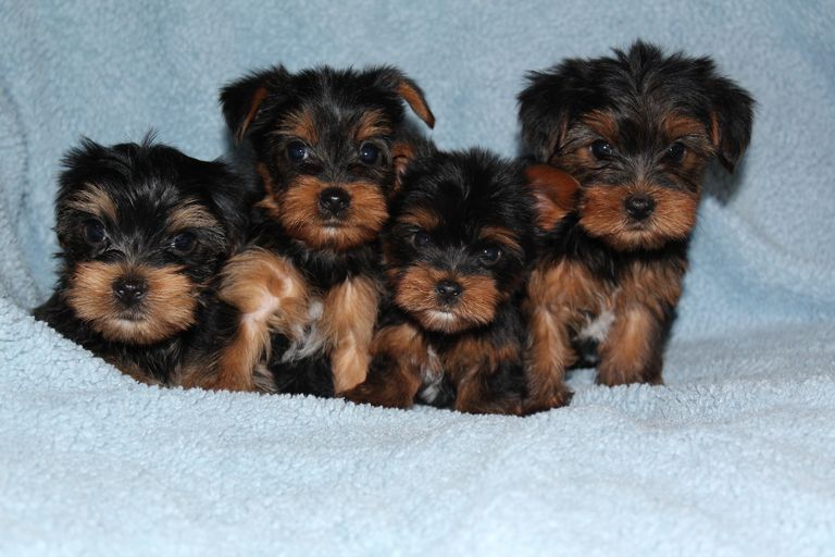 Free Yorkie Puppies Ma   Top Dog Information