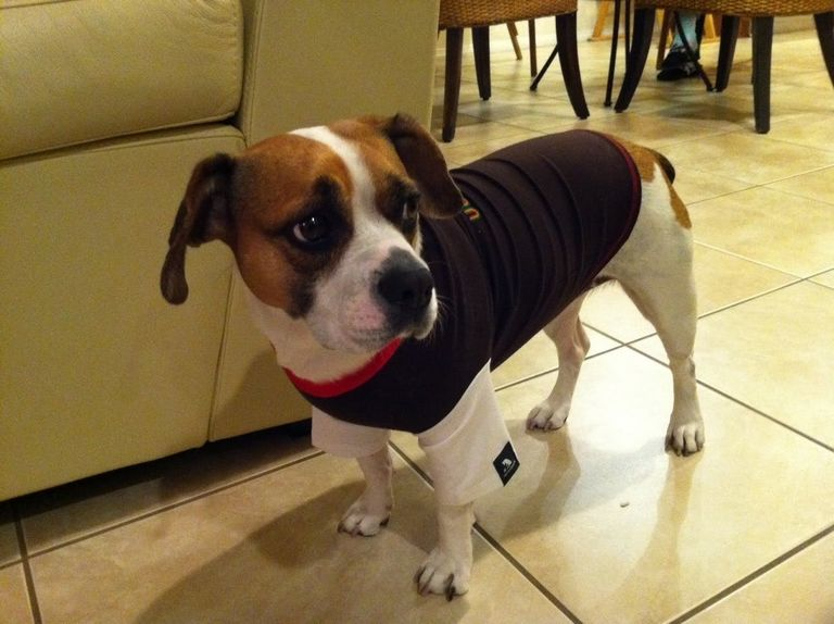French Bulldog Beagle Mix Puppies For Sale | Top Dog Information