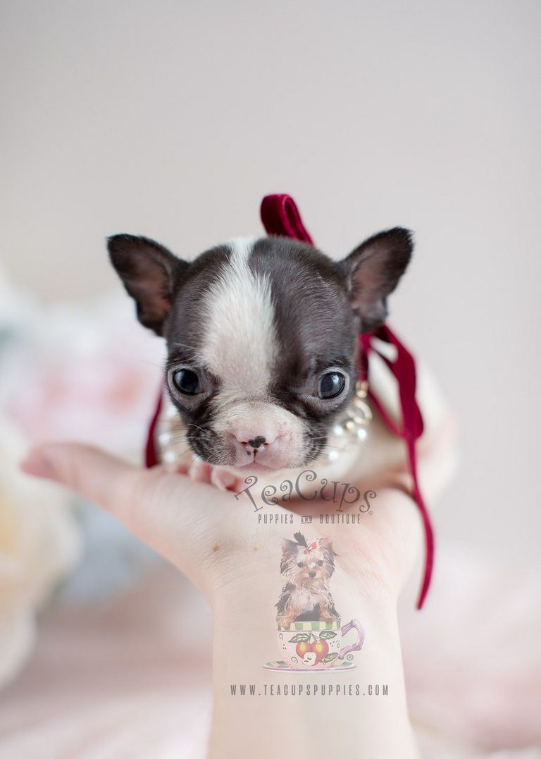 French Bulldog Boston Terrier Mix Puppies For Sale Oregon | Top Dog
