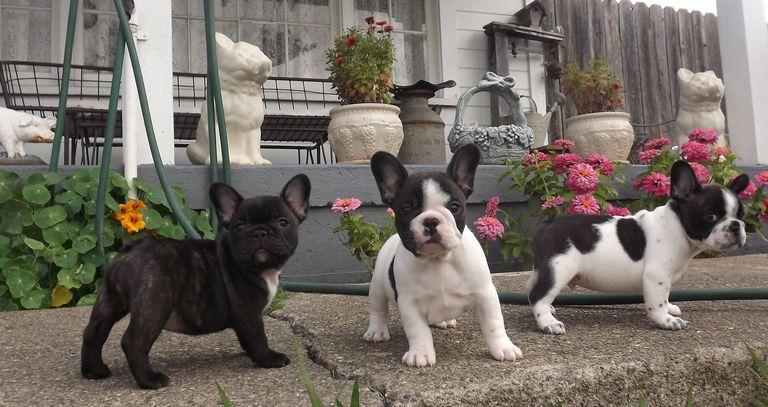 French Bulldog Breeders California