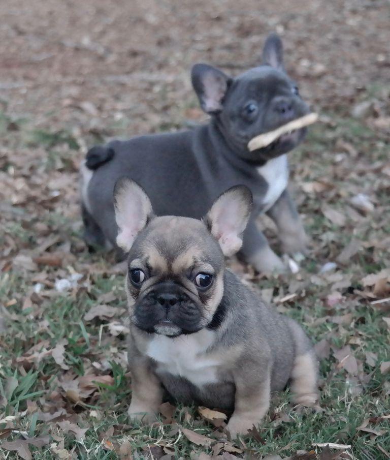 French Bulldog Breeders Ga