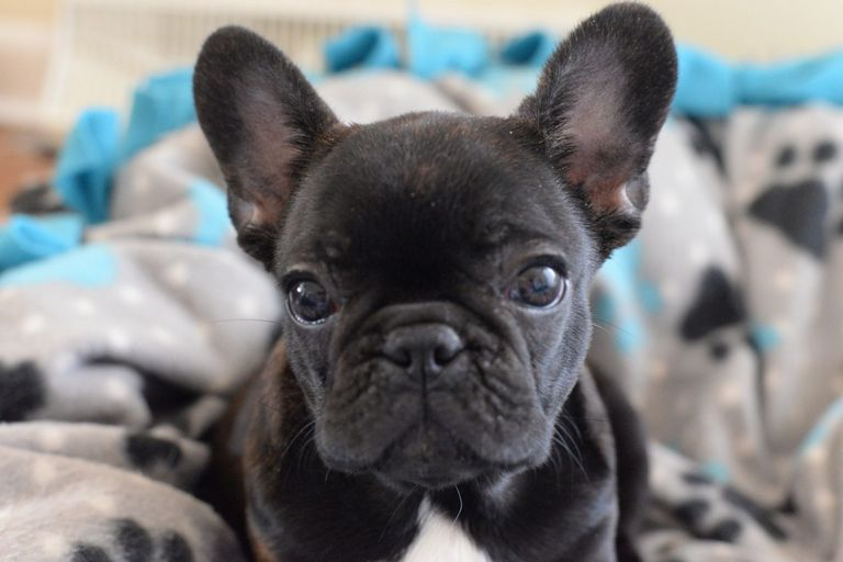 French Bulldog Breeders Midwest