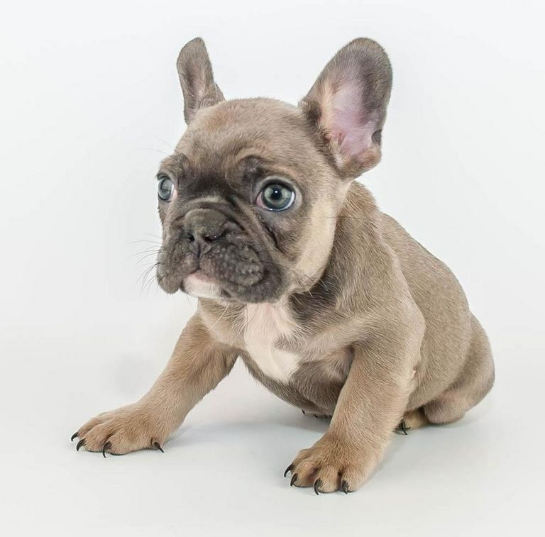 French Bulldog Canton Ohio