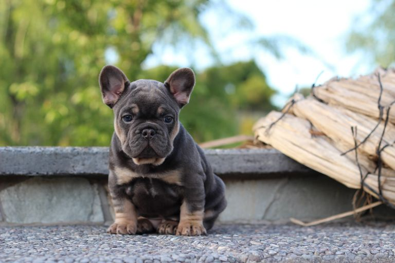 French Bulldog Connection