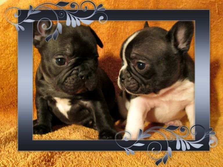 French Bulldog For Sale In Bardstown Ky