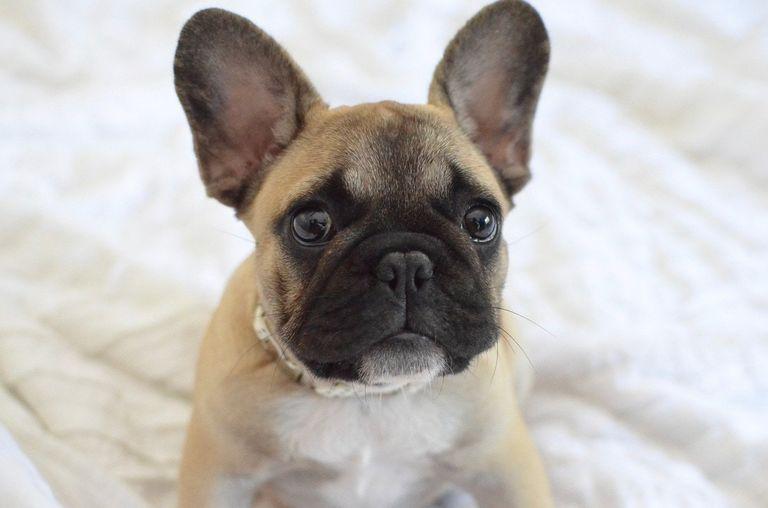 French Bulldog Gainesville Fl