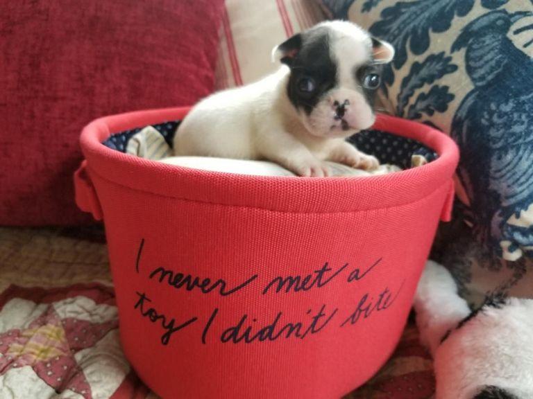 French Bulldog In Fremont Wi