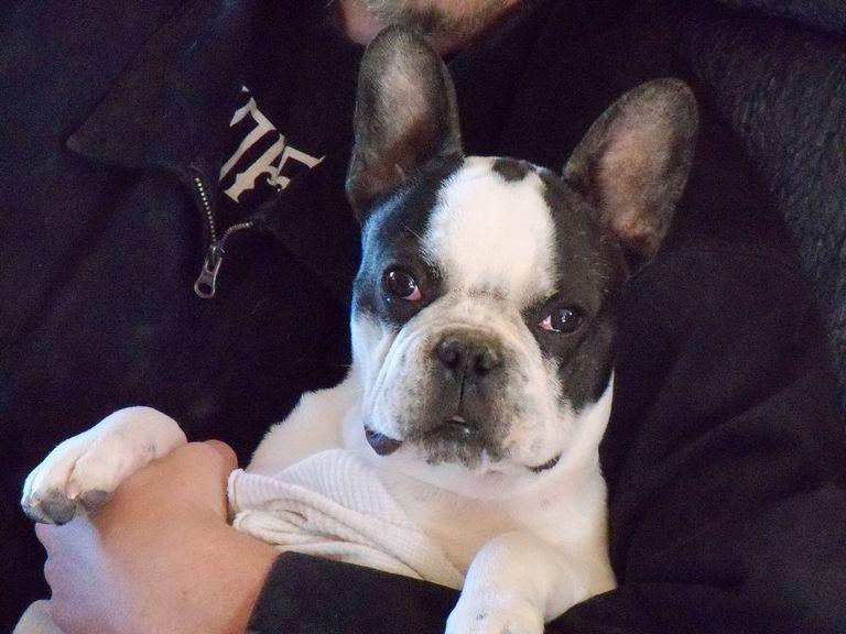 French Bulldog Kingman Az