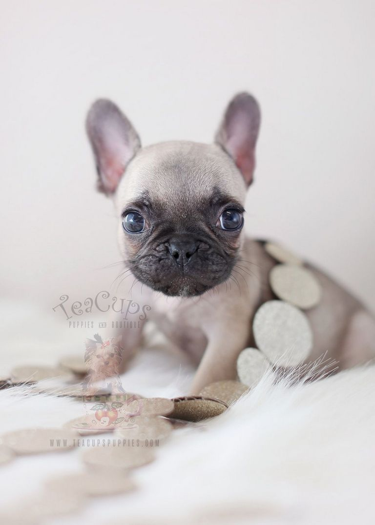 French Bulldog Puppies For Adoption In Florida