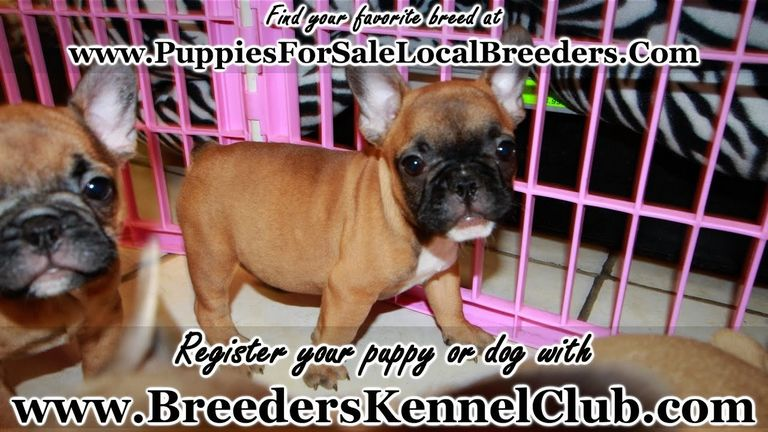 French Bulldog Puppies For Sale In Augusta Ga
