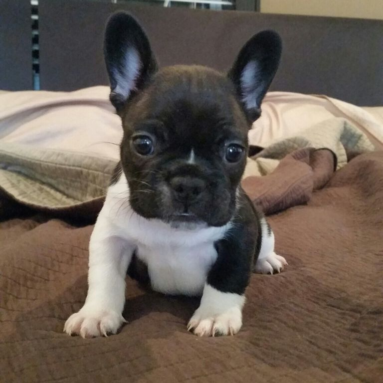 French Bulldog Puppies For Sale In Chicago