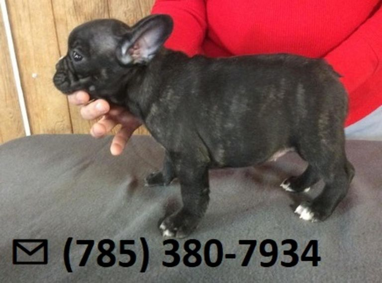 French Bulldog Puppies For Sale In Lafayette Louisiana