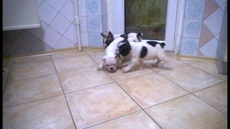 French Bulldog Puppies For Sale In Ny