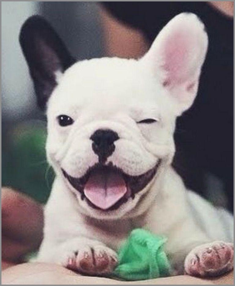 French Bulldog Puppies For Sale In Savannah Ga