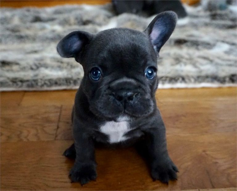 French Bulldog Puppies For Sale Nc Craigslist | Top Dog ...