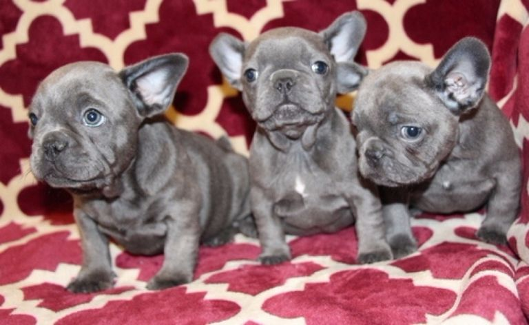 French Bulldog Puppies In Rhode Island