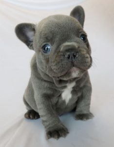 French Bulldog Puppies Mn