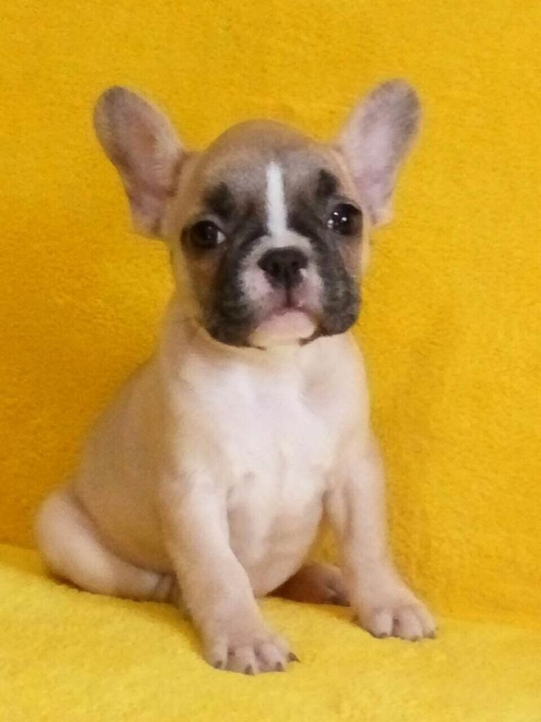 French Bulldog Puppies Tampa