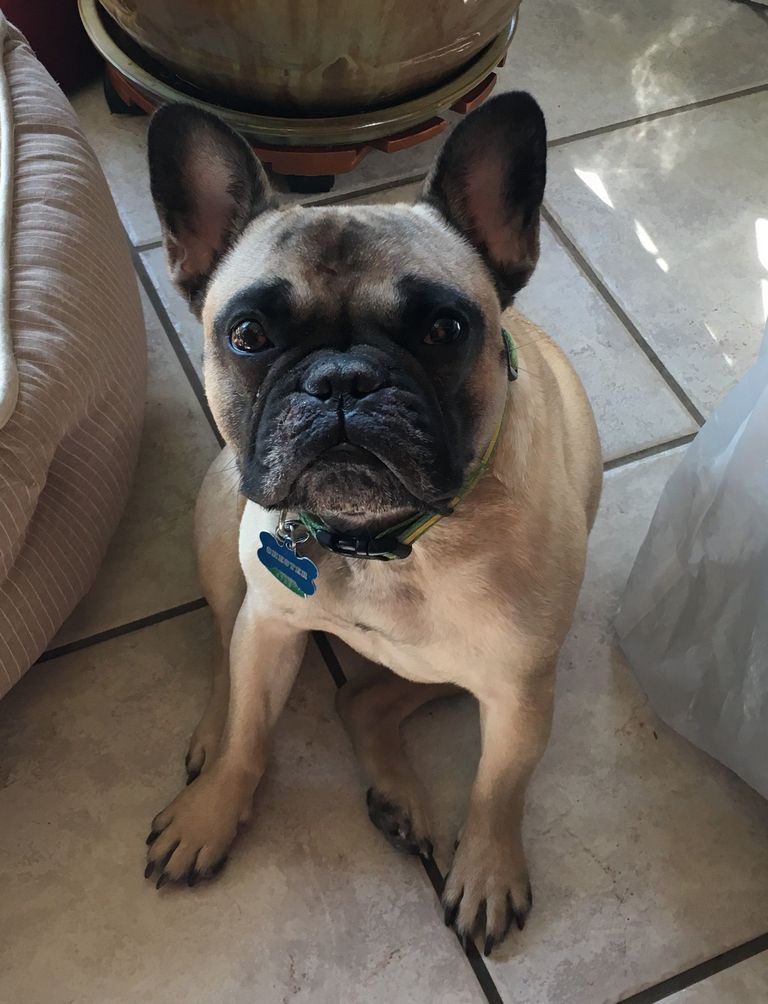 French Bulldog Rescue Alabama | Top Dog Information