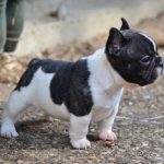 French Bulldog Rescue Delaware