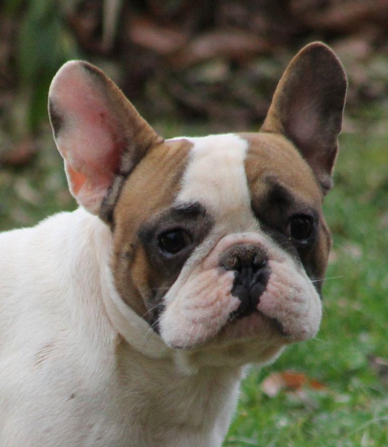 French Bulldog Rescue Raleigh Nc
