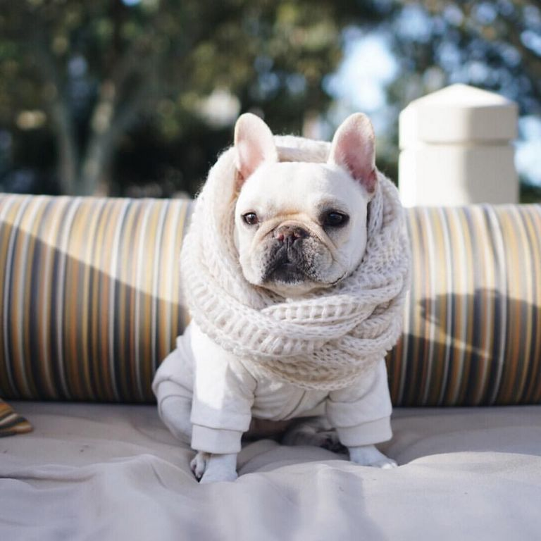 French Bulldog Rescue South Carolina