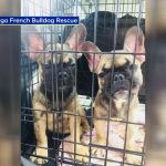 French Bulldog Sacramento Rescue