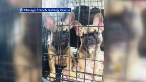 French Bulldog Sacramento Rescue