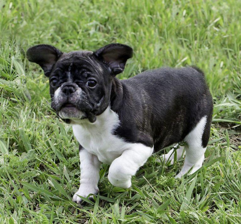 French Bulldog San Diego Craigslist