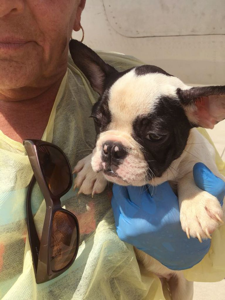 French Bulldog Second Chance Rescue