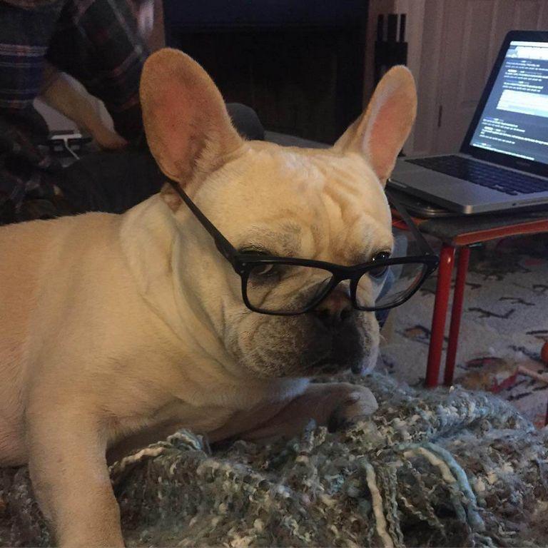 French Bulldog Temperament