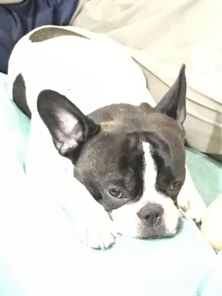 French Bulldog Vermont