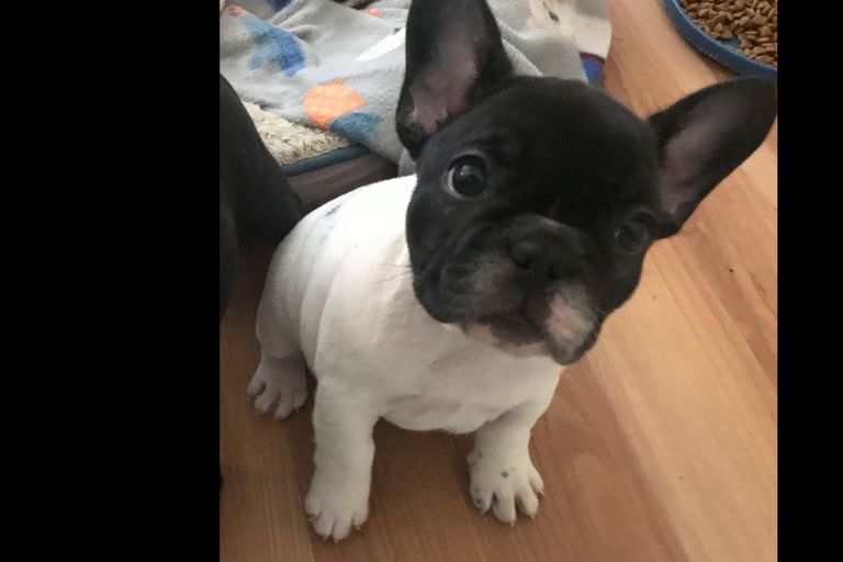 French Bulldogs For Sale In Amarillo Texas   Top Dog ...