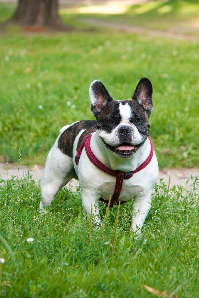 French Bulldogs For Sale Near Warsaw Indiana