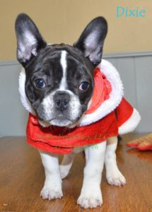 French Bulldogs Sale Missouri