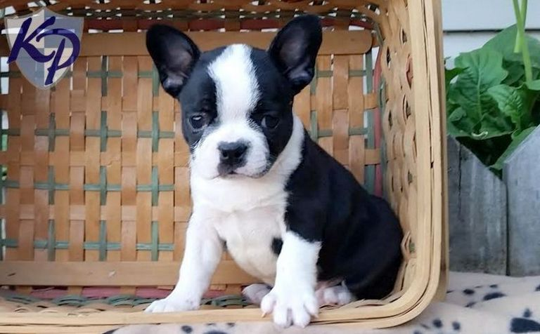 Frenchton Puppies For Sale In Georgia