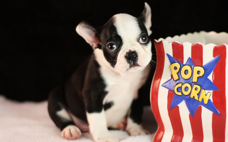 Frenchton Puppies For Sale In Missouri