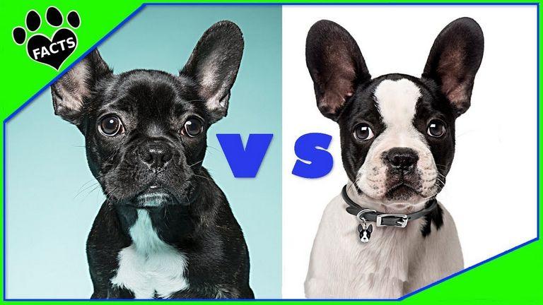 Frenchton Vs Boston Terrier