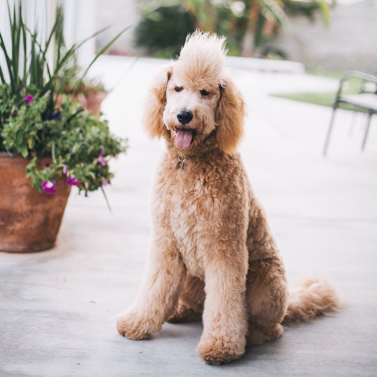Funny Labradoodle Haircuts