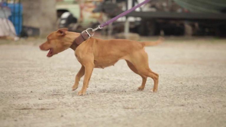 Game American Pitbull Terrier Kennels