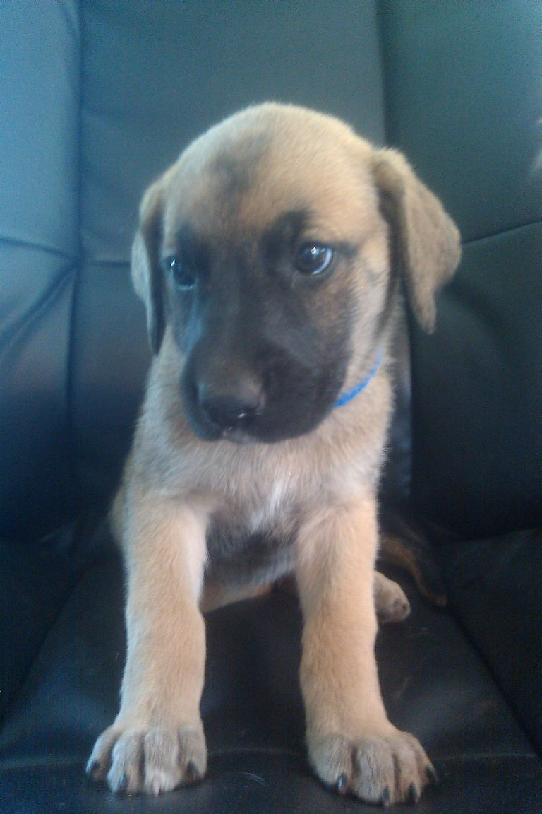 German Great Dane Puppies For Sale