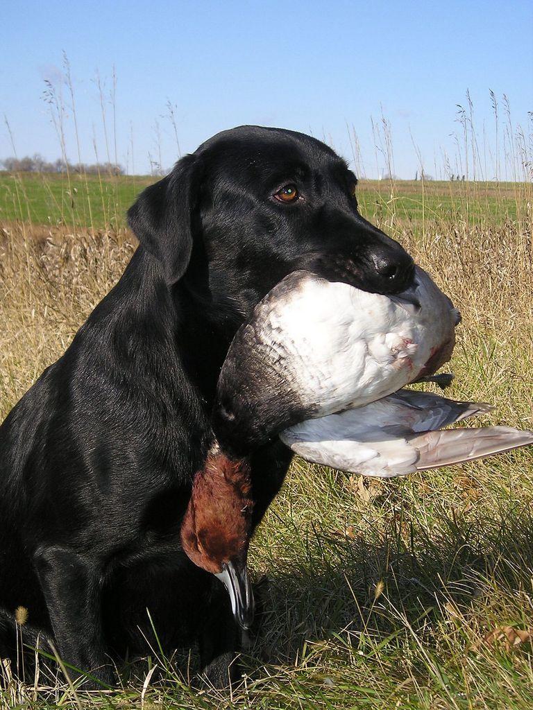 German Hunting Dog Crossword Clue