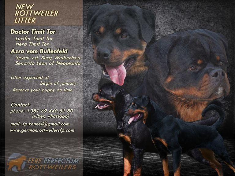 German Rottweiler Puppies For Sale 2018