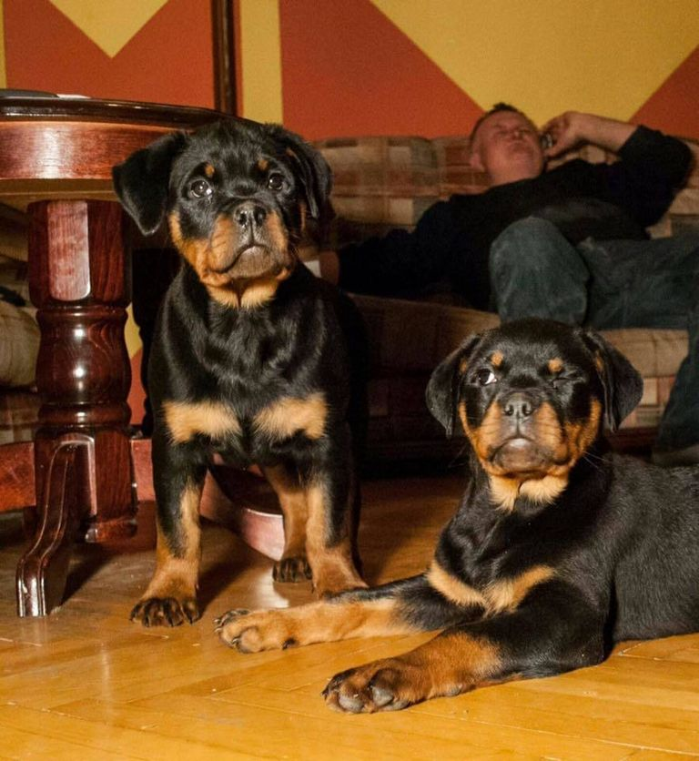 German Rottweiler Puppies For Sale In Bay Area