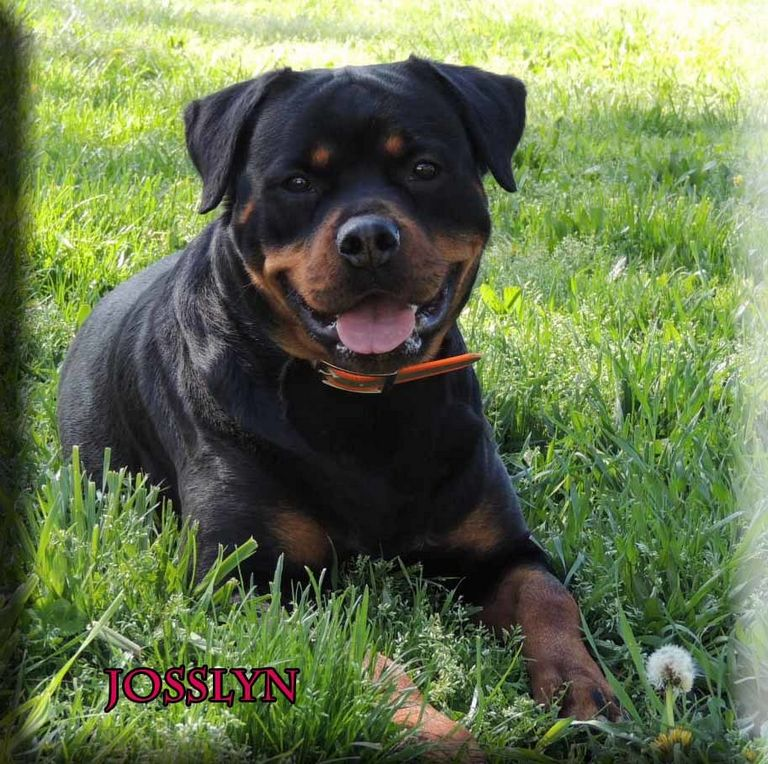 German Rottweiler Puppies For Sale In Pa