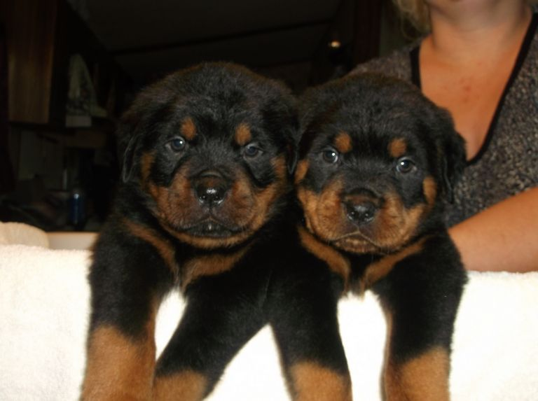 German Rottweiler Puppies For Sale In Texas
