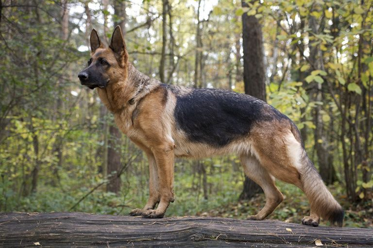 German Shepherd Breeder Ny